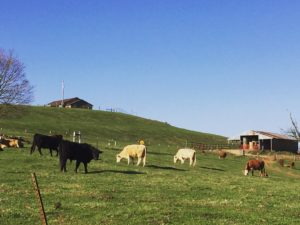 cows at Castle Bluff