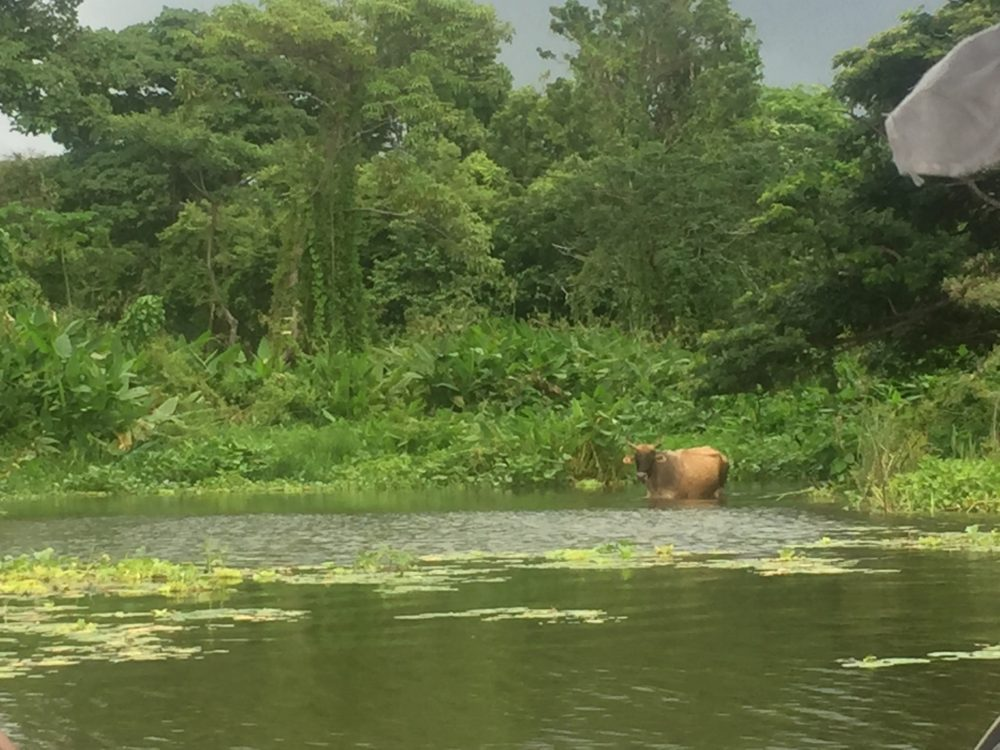 swimming cow